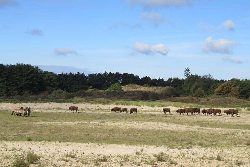 bison cattle and horse grazing together in kraansvlak