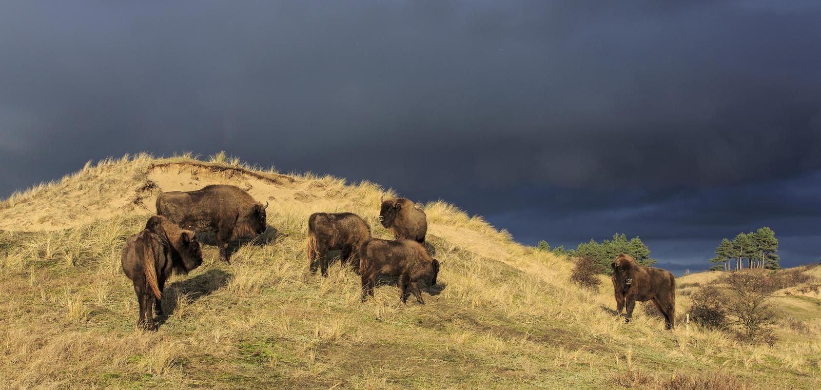 Wisenten tegen donkere achtergrond. Foto: Ruud Maaskant