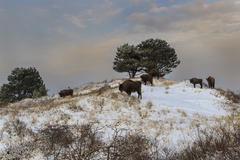Wisent in sneeuwlandschap. Foto: Ruud Maaskant