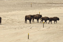 Bison discover Bison trail. Photo: Ruud Maaskant