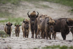 Bison with calves. Photo: Ruud Maaskant