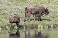 Bisoncalf at the water. Photo: Ruud Maaskant