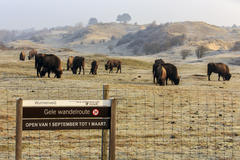 Bison at the Bison Trail. Photo: Ruud Maaskant