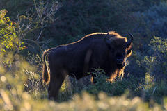 Bison. Photo: Ruud Maaskant