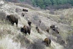 Bison in Kraansvlak dune area. Photo: Ruud Maaskant