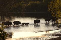 Wisenten lopen door water. Foto: Ruud Maaskant