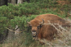 Bison bull Podryw. Photo: Leo Linnartz