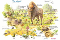 The wisent a keystone species