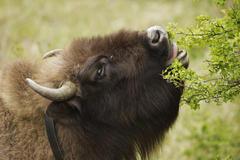 Wisent eet meidoorn. Foto: Ruud Maaskant