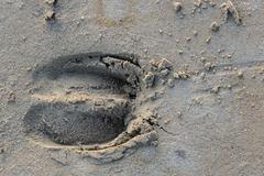 Wisentspoor in het zand. Foto: Ruud Maaskant