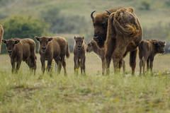 Five new born European bison calves in Kraansvlak dune area. Photo: Ruud Maaskant