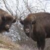 Bison. Photo: Leo Linnartz