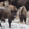 Bison in the snow. Photo: Ruud Maaskant