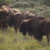 Bison. Photo: Ruud Maaskant