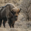 Bison bull. Photo: Ruud Maaskant