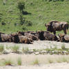Bison group resting. Photo: Esther Rodriguez
