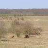 European bison bulls resting in Tsjechie