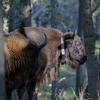 Wisentkoe met nieuwe zender in het bos