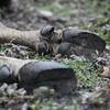 Dead European bison female. Photo: Karsten Reiners