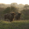 Bison in the Kraansvlak dune area 2008. Photo: Leo Linnartz