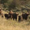 Bison and calves. Photo: Leo Linnartz