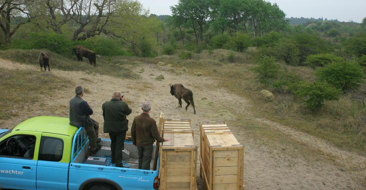 Release of bison. Photo: Leo Linnartz