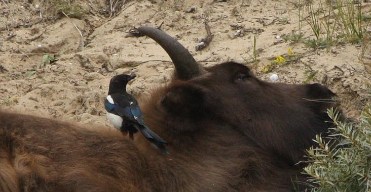 Magpie and bison. Photo: Leo Linnartz