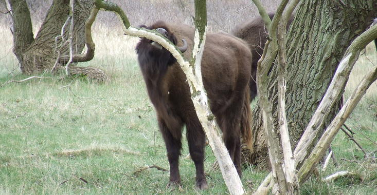 Bison rubs against tree. Photo: Doreen Rugers