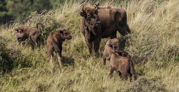 4 kalveren en 2 moeders. Foto: Ruud Maaskant