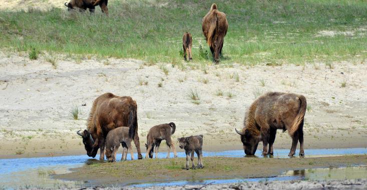 4 bison calves. Photo: Hans de Bie