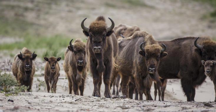 Bison with calves. Photo: Ruud Maaskant