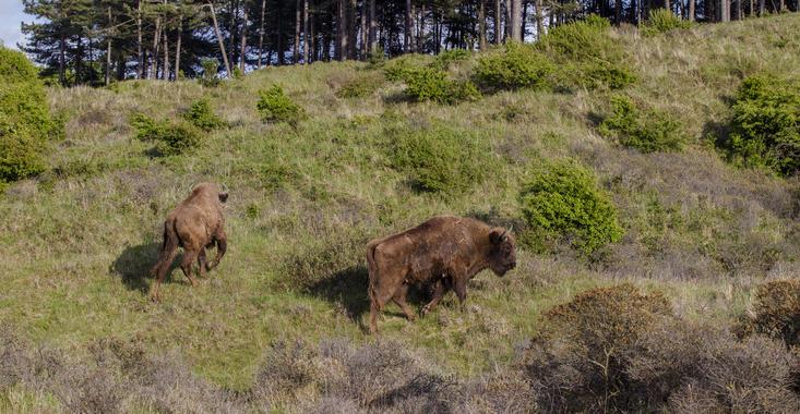 Bison in the Kraansvlak dune area. Photo: Ruud Maaskant