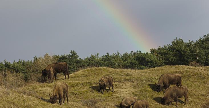 European bison herd Kraansvlak