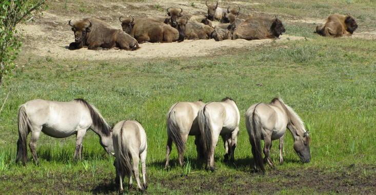 Bison and konik in Kraansvlak. Photo: Esther Rodriguez
