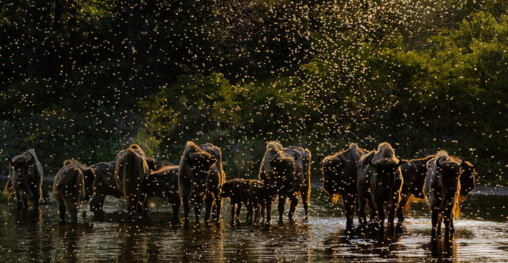 Dawn of the Bison. Foto: Jasper Doest