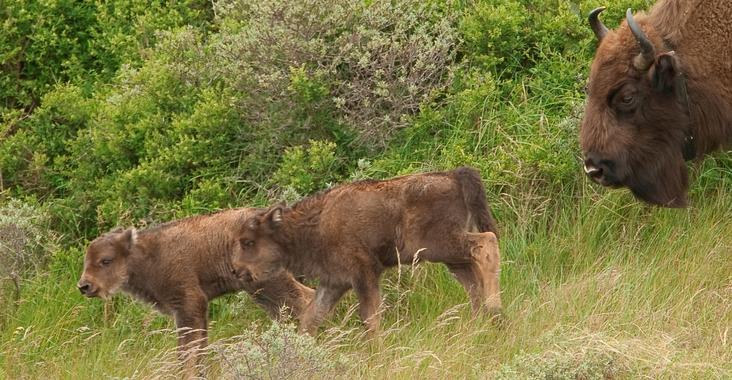 Bison calves 2009. Photo: Ruud Maaskant