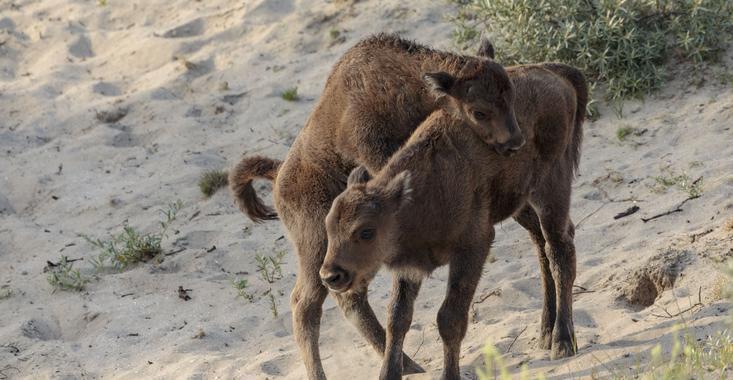 European bison calves Kraansvlak, foto: Ruud Maaskant