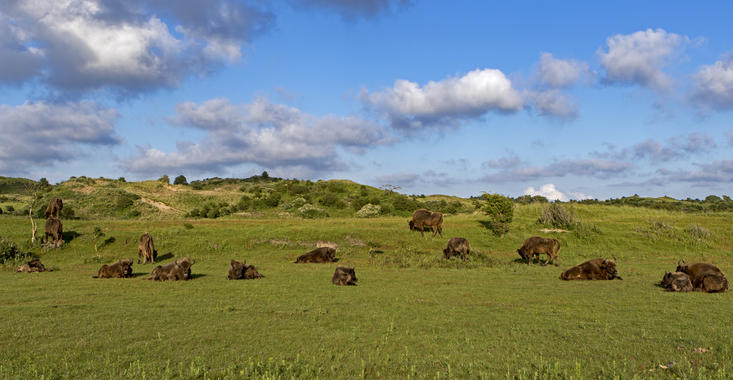 European bison in Kraansvlak. Photo: Ruud Maaskant