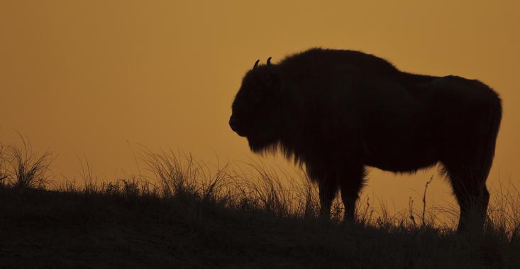 Bison at sunset. Photo: Ruud Maaskant
