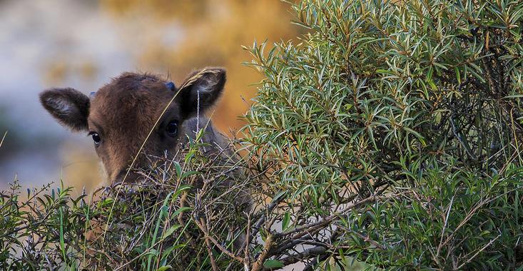 Wisentkalf achter de duindoorns. Foto: Ruud Maaskant