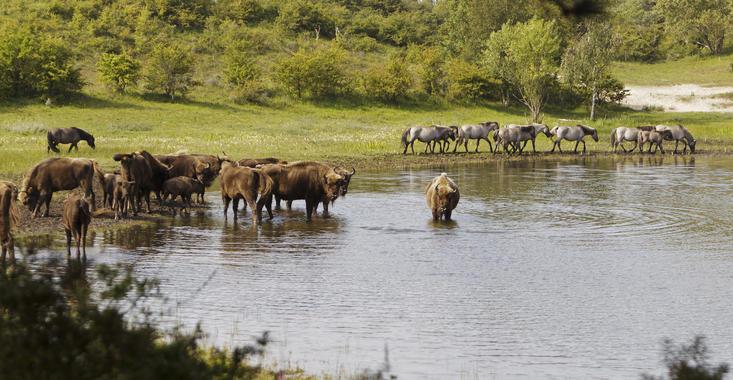 Wisenten en konikpaarden bij het water. Foto: Ruud Maaskant