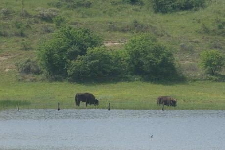 Bison at the water. Photo: Leo Linnartz