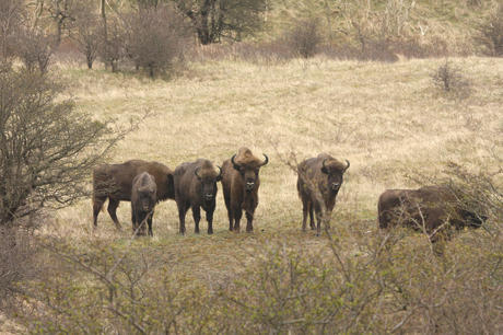 Bison in the Kraansvlak dune area 2008. Photo: Leo Linnartz
