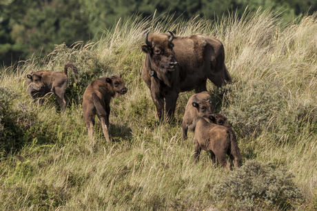 4 calves and 2 mothers. Photo: Ruud Maaskant