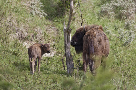 Bisoncalf with mother. Photo: Ruud Maaskant