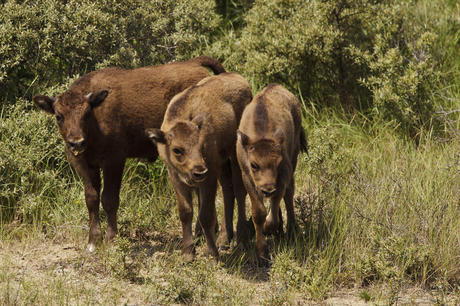 3 bisoncalves. Photo: Ruud Maaskant