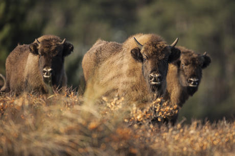 Bison calves in the dunes. Photo: Ruud Maaskant
