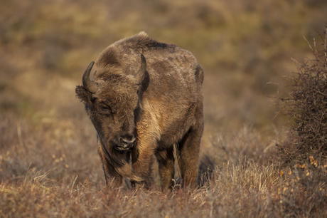 Bison bull in dune area. Photo: Ruud Maaskant