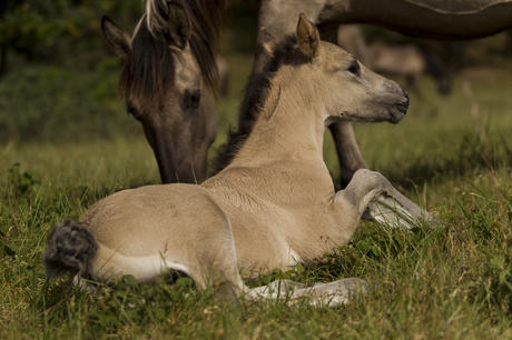 Konikfoal. Photo: Ruud Maaskant