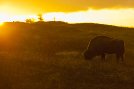 Bison at sundown. Photo: Ruud Maaskant